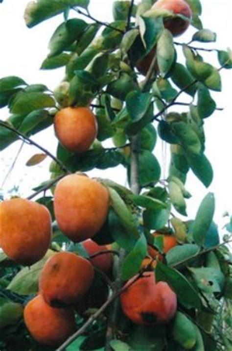 japanese fruit tree japanese persimmons fruit tree pictures jpg