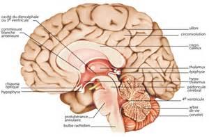 encyclop 233 die larousse en ligne coupe du cerveau
