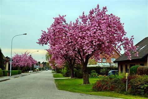 cherry tree ornamental ornamental cherry road tree 183 free photo on pixabay
