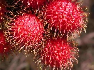 Jual Bibit Rambutan Parakan more philippine fruits rambutan eastern sea