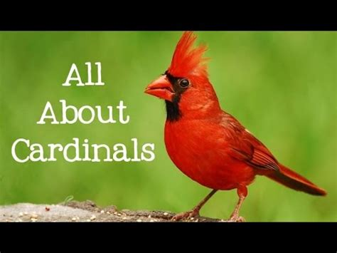 all about cardinals backyard bird series freeschool