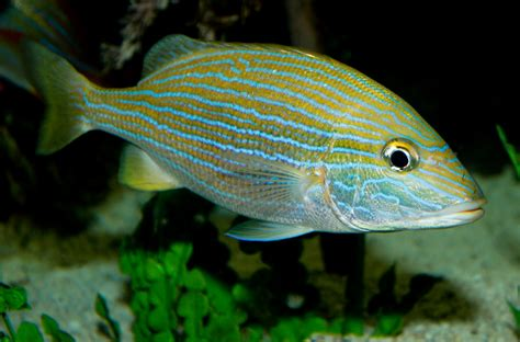 with stripes saltwater fish with stripes fish with yellow stripes a fish with yellow stripes at