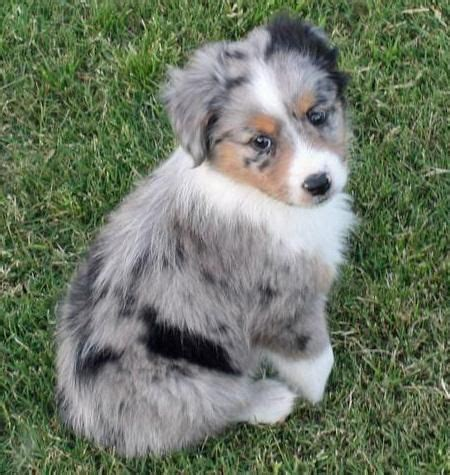 merle australian shepherd puppies 3629 best dogs puppies images on australian shepherd pics and dogs