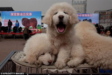 white tibetan mastiff puppies for sale white tibetan mastiff puppies www pixshark images galleries with a bite