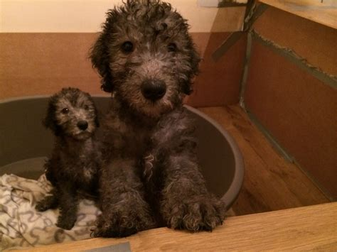 bedlington terrier puppies beautiful bedlington terrier puppies for sale stockport greater manchester pets4homes