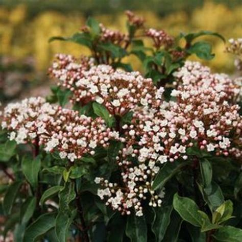 spring bouquet laurustinus shrubs buy  nature hills