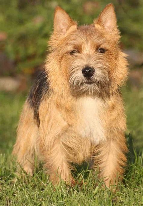 Norwich Terrier Shedding by Small Breeds List Of All Small Dogs Small