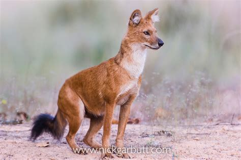 dhole puppy dhole or indian nick garbutt