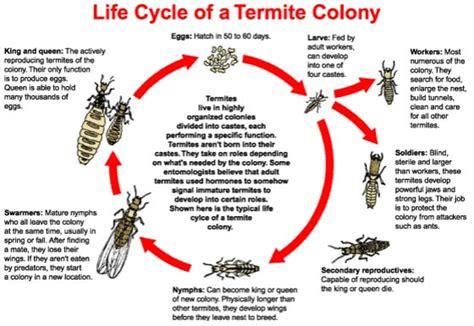termites blue mountains