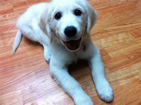 european golden retrievers european white golden retrievers breeds picture