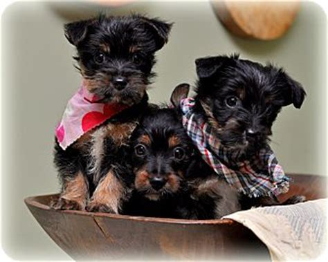 yorkie scottie mix adopted puppy sparta nj yorkie terrier scottie scottish