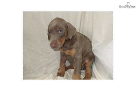 fawn doberman puppies for sale fawn doberman pinscher puppies for sale related keywords suggestions fawn doberman