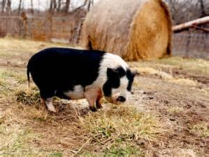 pot bellied pig pet potbellypigs everything you need to about your