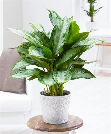 buy house plants buy house plants now chinese evergreens silver bay