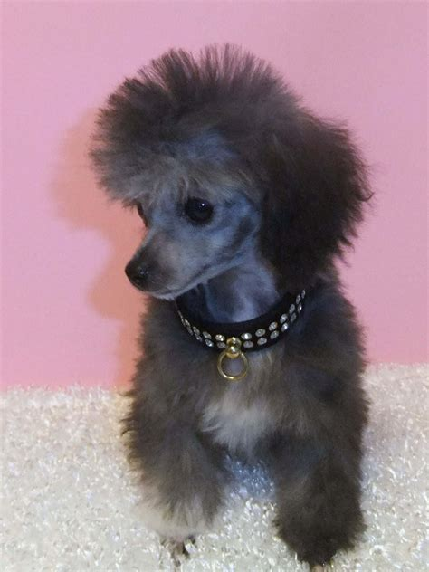 small breed puppies for sale in nashville tn poodle pictures and information on all types of poodles rachael edwards