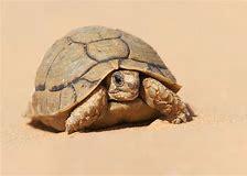 Image result for Desert tortoises euthanized