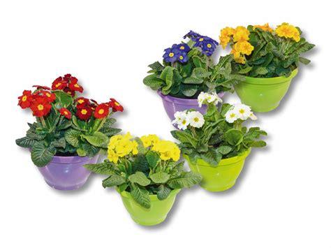 primule in vaso primule da giardino in vaso lidl svizzera archivio
