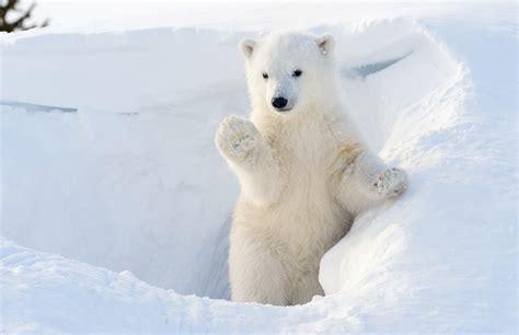 polar and baby polar cubs