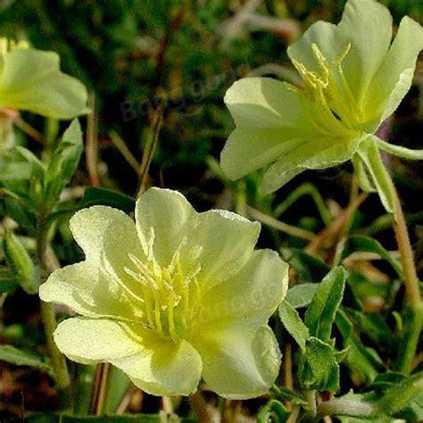 50 mosquito repellent tuberose seeds garden plant us 2 69