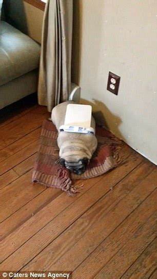 pug stuck in toilet new york pug gets stuck in the middle of a bathroom trash can lid daily mail