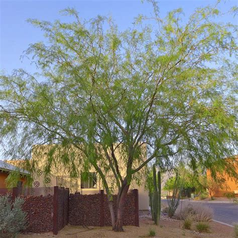 lowes mesquite desert gardening planting to suit the climate