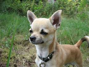 Can Deer See Red Light Chihuahua My Doggy Rocks