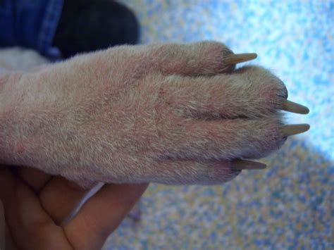 cellulitis in dogs demodicosis enpevet