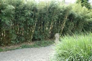 garten sichtschutz pflanzen schnellwachsend schnellwachsende heckenpflanzen gartentr 228 ume
