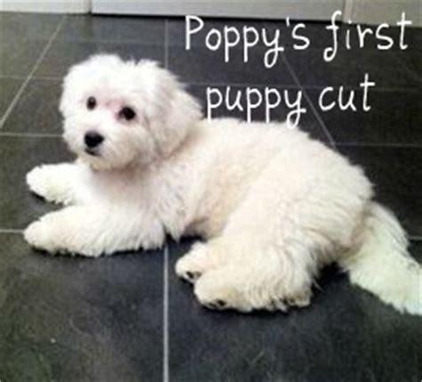 coton de tulear puppy cut coton de tulear puppy cut
