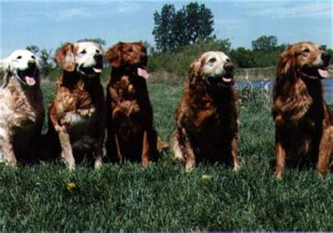 mioak s golden retrievers topbrass titled dogs