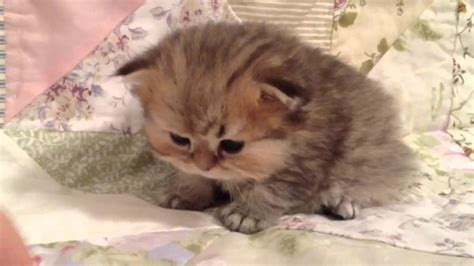 grown teacup teacup munchkin kittens for sale quotes