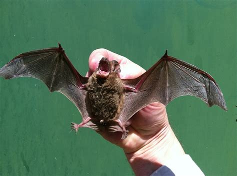 How Do You Get Rid Of Bats In Your Backyard by How To Get Rid Of Bats In Your Home