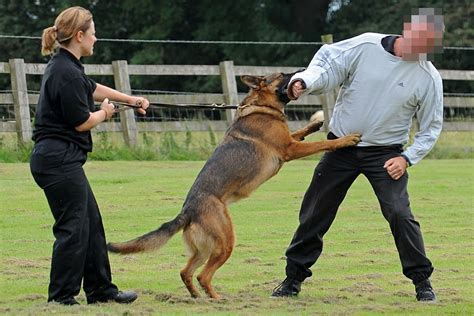 how are k9 dogs trained schools www imgkid the image kid has it