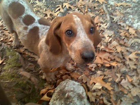 redtick coonhound puppies american coonhound redtick coonhound puppies