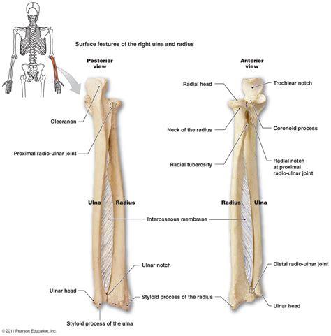 radius and ulna diagram the skeletal system