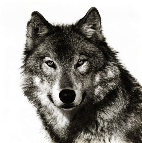 wolf face tattoo wolf wolf idea tattoos