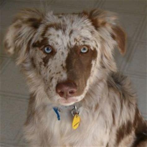 golden retriever hypoallergenic mix aussiedor australian shepherd labrador retriever mix info and pictures