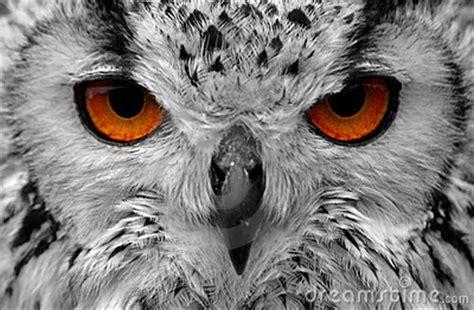 owl eyes royalty  stock photo image