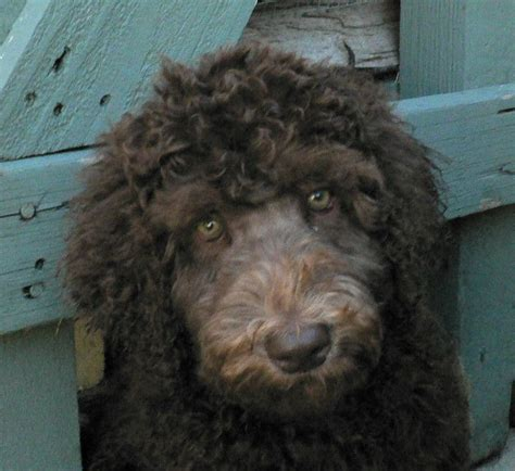 female labradoodle hair styles royal diamond labradoodles grooming the face of a curly