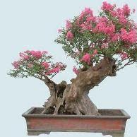 sakura tanaman bonsai cantik disenangi kaum hawa