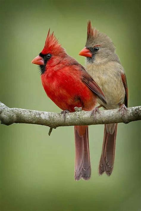 1000 ideas about red cardinal meaning on pinterest