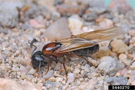 Flying Ants In House by 25 Best Ideas About Flying Ants On Pest