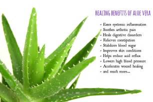 aloe vera plant facts is aloe vera juice good for you 20 facts about aloe vera