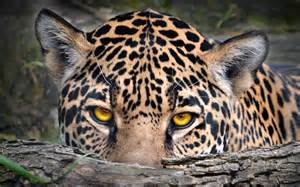 Jaguar Cat Size Leopard Awesome Wallpapers 8146 Amazing Wallpaperz