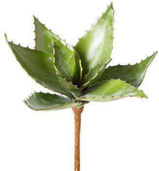 Aloe Vera Jumbo ebg12250 large aloe vera plant
