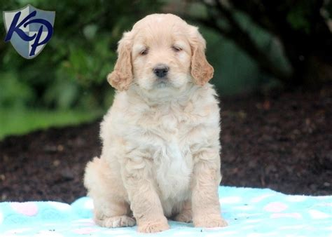 goldendoodle puppies for sale in pa 58 best images about goldendoodle puppies on