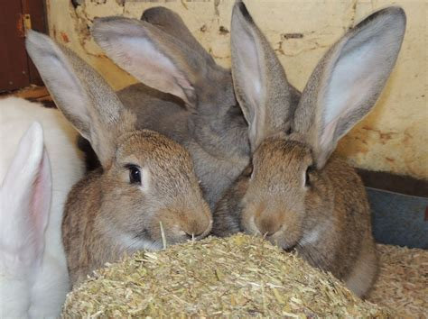 House Rabbit by Purebred Continental Babies Ready Now Lancing