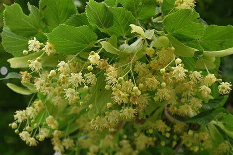 tiglio fiori fiori di tiglio fiori delle piante caratteristiche dei