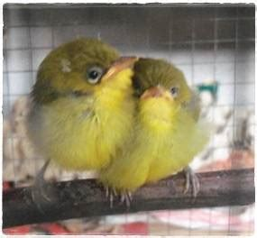 Pakan Lolohan Anakan Murai Batu perawatan dan pakan burung piyikan klub burung