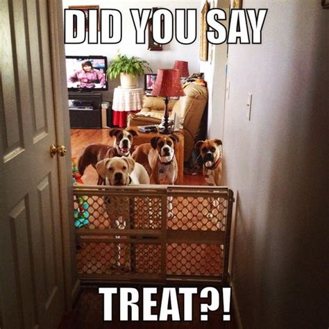 funny boxer meme dog memes pinterest boxers funny